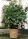 1 x naklíčená semena Palma Chamaerops Humilis - Žumara nízka