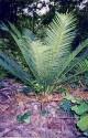 1 x naklíčená semena Cycas siamensis dwarf form