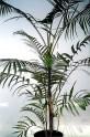1 x naklíčená semena palma Dypsis arenarum