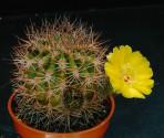 Kaktus Acanthocalycium thionanthum JB 54 El Obelisco Balení obsahuje 20 semen