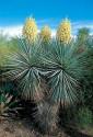 Yucca Rigida   Balení obsahuje 8 semen