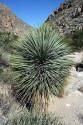 Yucca Elata Balení obsahuje 8 semen