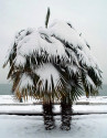 3 naklíčená semena Palma Trachycarpus fortunei