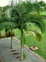 ♣ 10 x naklíčené semeno Palma Archontophoenix alexandrae  Zvýhodněná nabídka