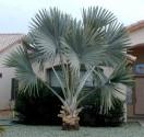 1 x naklíčená semena Palma Bismarckia nobilis