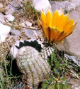 Kaktus Echinocereus dasyacanthus Balení obsahuje 20 semen
