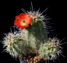 Kaktus Echinocereus triglochidiatus Balení obsahuje 20 semen
