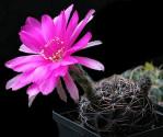 Kaktus Echinopsis cardenasiana R 498 Balení obsahuje 20 semen