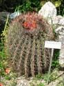Kaktus Ferocactus emoryi Balení obsahuje 20 semen