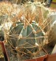 Kaktus Astrophytum senile var. aureum MZ 256 Balení obsahuje 20 semen
