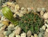 Kaktus Lobivia tegeleriana var. albiflora KK 1794 Balení obsahuje 20 semen