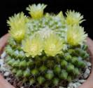 Kaktus Mammillaria marksiana Balení obsahuje 10 semen