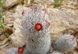 Kaktus Mammillaria potsii Balení obsahuje 10 semen