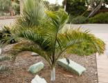 1 x naklíčená semena Palma Dypsis ambositrae