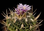 Kaktus Echinofossulocactus sp. Guadalcazar CSD 092 Balení obsahuje 20 semen