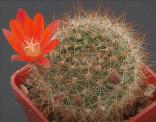 Kaktus Aylostera (Rebutia) cintiensis Balení obsahuje 10 semen