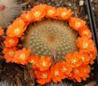 Kaktus Aylostera směs druhů Balení obsahuje 20 semen