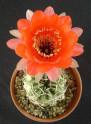 Kaktus Echinopsis calorubra var. mizquensis R 463 Balení obsahuje 20 semen