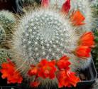 Kaktus Aylostera aiquilensis Balení obsahuje 10 semen