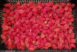 ♣ 100 semen Chilli Carolina reaper Zvýhodněná nabídka