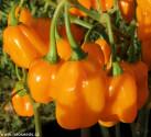 Chilli Habanero Orange Devil Balení obsahuje 10 semen