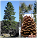 ♣ 50 semen Borovice Jeffreyova - Pinus Jeffreyi  Zvýhodněná nabídka