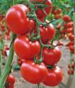 ♣ 200 x semena Rajče Uragan F1 Zvýhodněná nabídka