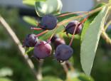 ♣ 100 x semena Amelanchier lamarckii - Muchovník Lamarkův Zvýhodněná nabídka
