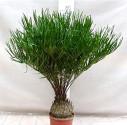 2 x naklíčené semeno Cycas Zamia Floridana