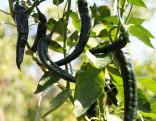 Sazenice chilli Cacho Negro