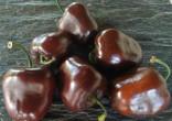 Sazenice chilli Rocoto Chocolate