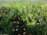♣ 10 x sazenice Cycas Revoluta - Cykas Japonský Zvýhodněná nabídka