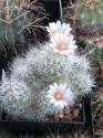 Kaktus Escobaria zilziana Balení obsahuje 10 semen