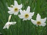 Narcis bílý 10 ks menších cibulek