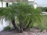 Sazenice Palma Phoenix roebelenii i první list cca 10 cm