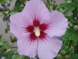 ♣ 500 semen Hibiscus Syriacus L. - Ibišek syrský fialový  Zvýhodněná nabídka
