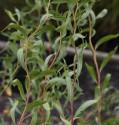 10 x Řízky Vrba kroucená (Salix erythroflexuosa)