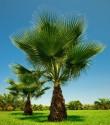 10 x Sazenice palma Washingtonia filifera 1-2 první listy vel.cca 10 cm