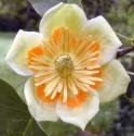 Liriodendron tulipifera - Liliovník tulipánokvětý Balení obsahuje 20 semen