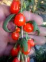 Řízky Lycium Chinese - Kustovnice čínská 3 ks o délce 10 - 12 cm