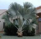 Sazenice Palma Bismarckia nobilis