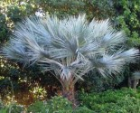 Sazenice palma Brahea sp. 'Super Silver