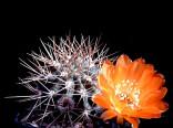 Kaktus Acanthocalycium variiflorum P 149 Balení obsahuje 20 semen