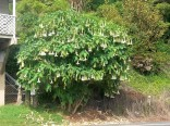 sazenice Brugmansia arborea stromová - Andělská trumpeta