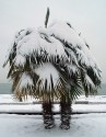 v 100 x naklíčená semena Palma Trachycarpus f.