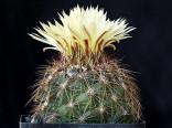 Kaktus Coryphantha nickelsiae Mina, Nuevo León Balení obsahuje 20 semen