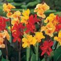 ♣ 50 x semena Canna Indica - Kana Indická mix barev  Zvýhodněná nabídka