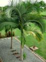 2 naklíčená semena Palma Archontophoenix alexandrae