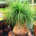 ♣ 100 semen Beaucarnea guatemalis  Zvýhodněná nabídka
