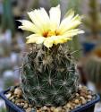 ♣ 100 semen Kaktus Coryphantha obscura SB 714  Zvýhodněná nabídka